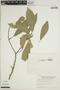 Sloanea L., PERU, J. Schunke Vigo 5723, F