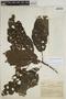 Sloanea L., COLOMBIA, J. Giacometto A188, F