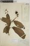 Sloanea nitida G. Don, BRITISH GUIANA [Guyana], E. Rudge, F