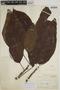 Sloanea latifolia (Rich.) K. Schum., BRITISH GUIANA [Guyana], F