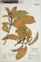 Sloanea floribunda Spruce ex Benth., BRAZIL, C. A. Cid Ferreira 7186, F