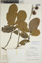 Sloanea brevipes Benth., BRAZIL, H. T. Beck 201, F