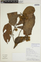 Sloanea brevipes Benth., PERU, Rod. Vásquez 19726, F