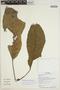 Sloanea aequatorialis T. D. Penn., Ecuador, G. Villa 910, F