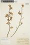 Encyclia odoratissima (Lindl.) Schltr., BRAZIL, P. Dusén 15210, F