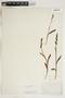 Dactylorhiza viridis image