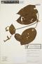Stizophyllum inaequilaterum Bureau & K. Schum., BOLIVIA, S. G. Beck 19519, F