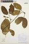 Stizophyllum inaequilaterum Bureau & K. Schum., SURINAME, 23, F