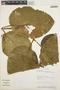 Stizophyllum inaequilaterum Bureau & K. Schum., BOLIVIA, A. H. Gentry 77579, F