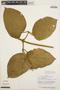 Stizophyllum inaequilaterum Bureau & K. Schum., PERU, A. H. Gentry 16359, F