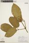 Stizophyllum inaequilaterum Bureau & K. Schum., PERU, A. H. Gentry 19777, F