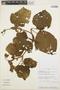 Stizophyllum inaequilaterum Bureau & K. Schum., PERU, R. Rojas 0230, F
