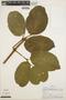 Stizophyllum inaequilaterum Bureau & K. Schum., PERU, A. H. Gentry 19706, F
