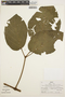 Stizophyllum inaequilaterum Bureau & K. Schum., PERU, R. B. Foster 8032, F
