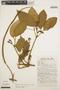 Stizophyllum inaequilaterum Bureau & K. Schum., PERU, J. Schunke Vigo 6581, F