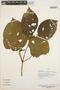 Stizophyllum inaequilaterum Bureau & K. Schum., PERU, F. Ayala 2323, F