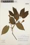 Stizophyllum inaequilaterum Bureau & K. Schum., VENEZUELA, T. C. Plowman 13716, F