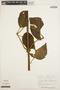 Stizophyllum inaequilaterum Bureau & K. Schum., PERU, E. Ancuash 1096, F