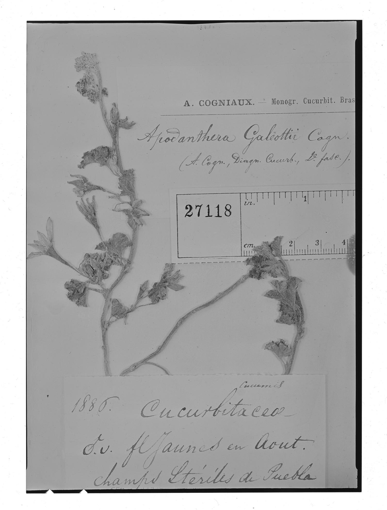 Apodanthera aspera image