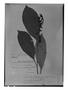 Centropogon arcuatus image