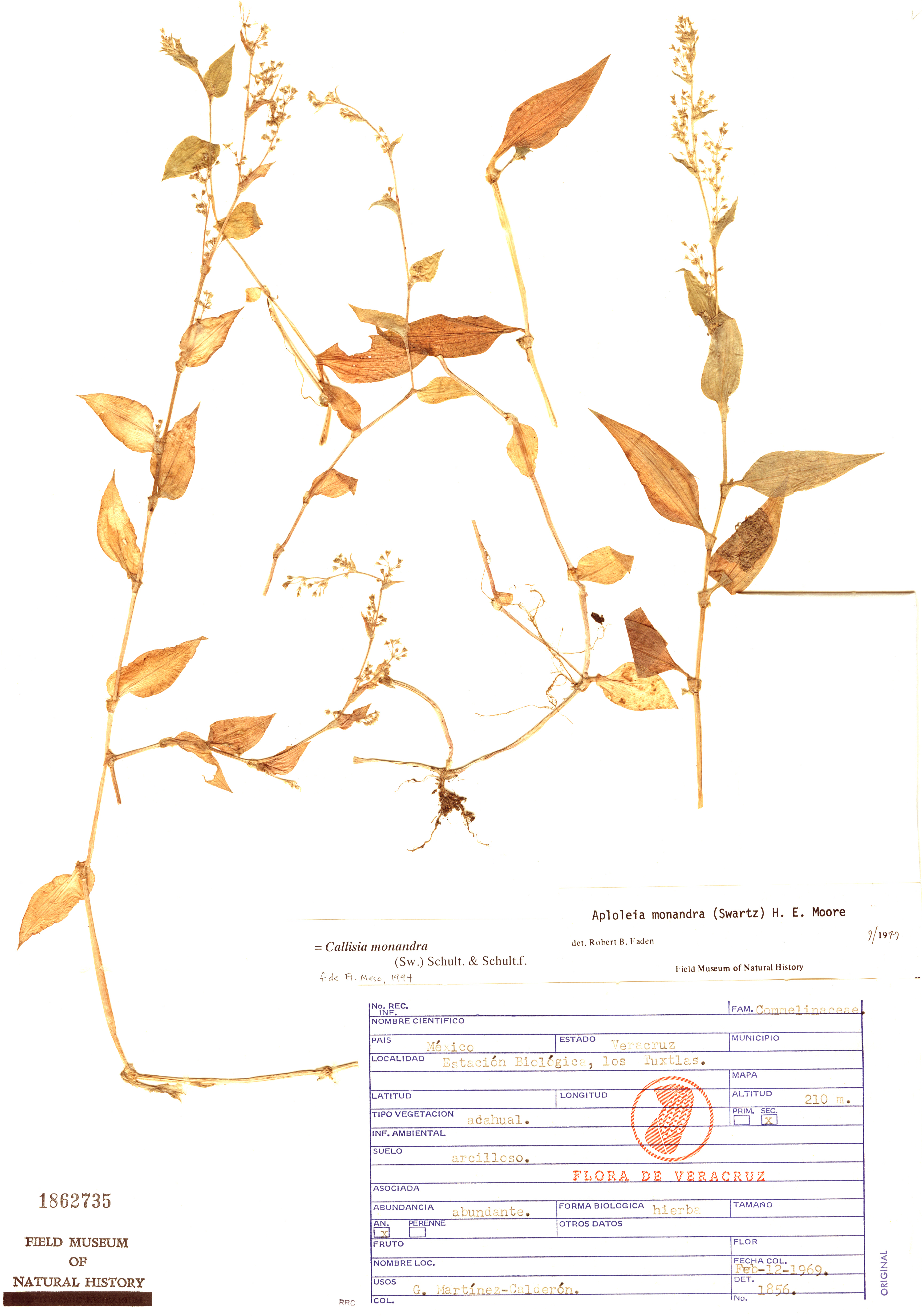 Callisia monandra image