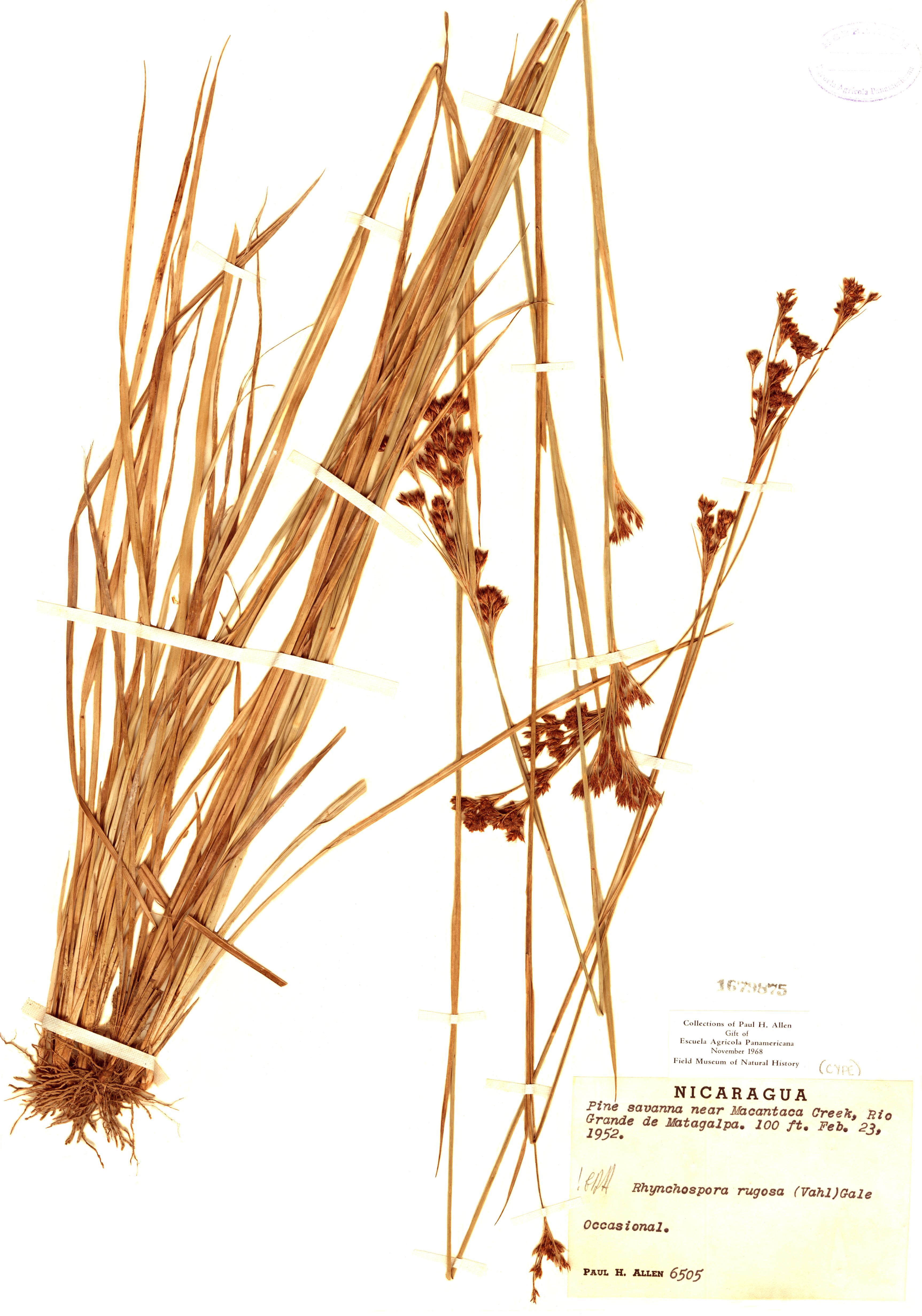 Specimen: Rhynchospora rugosa