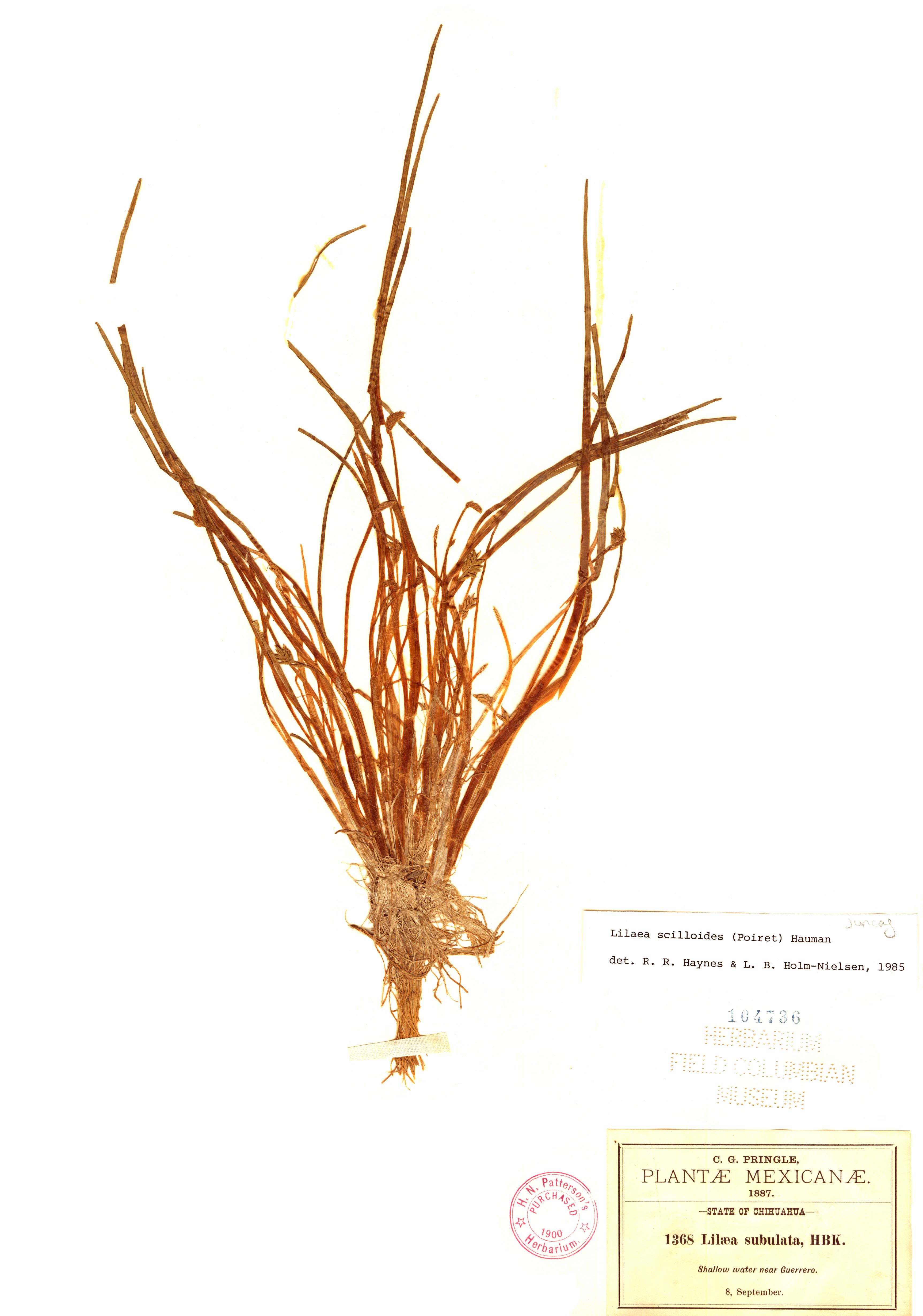 Specimen: Lilaea scilloides