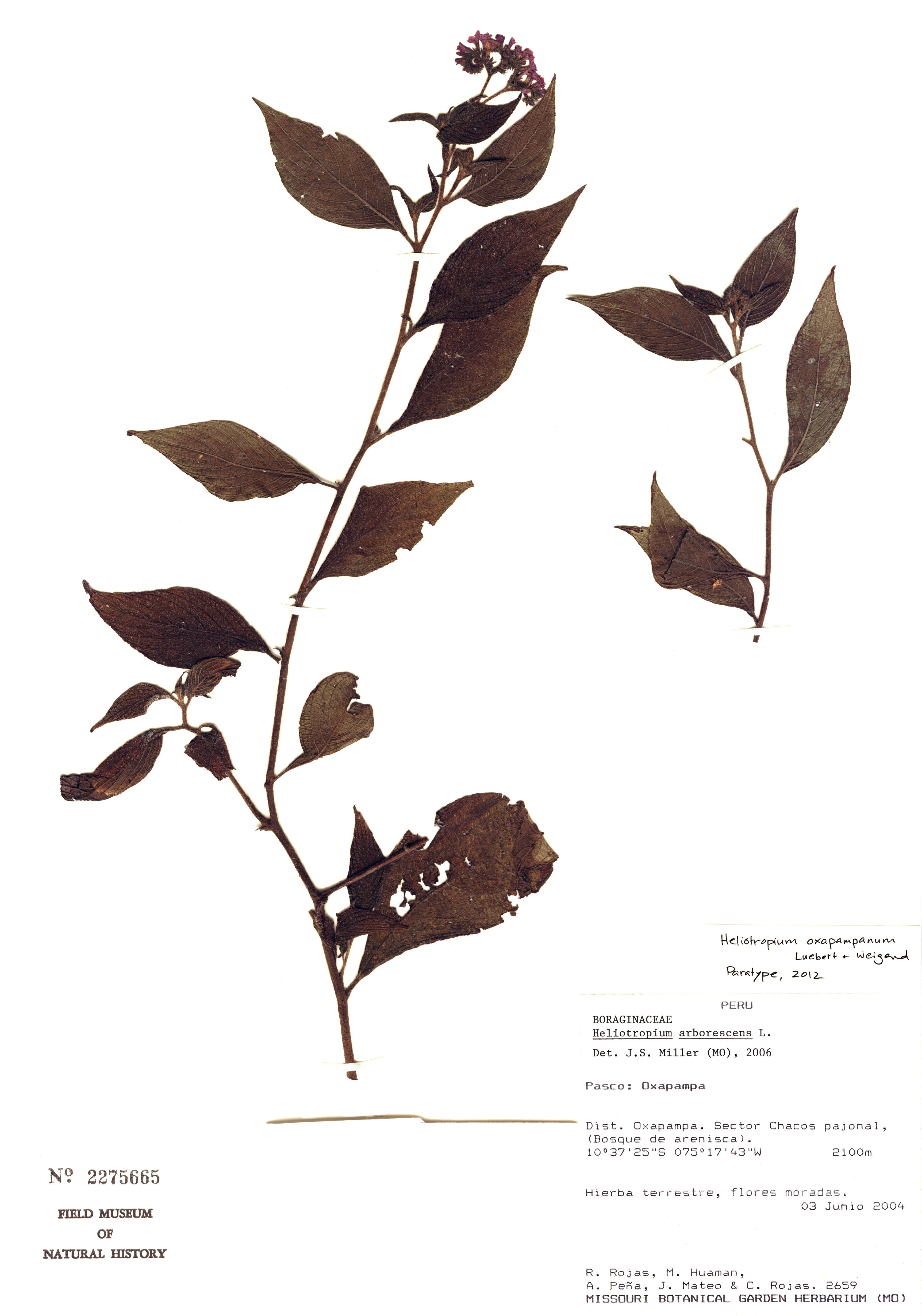 Specimen: Heliotropium oxapampanum