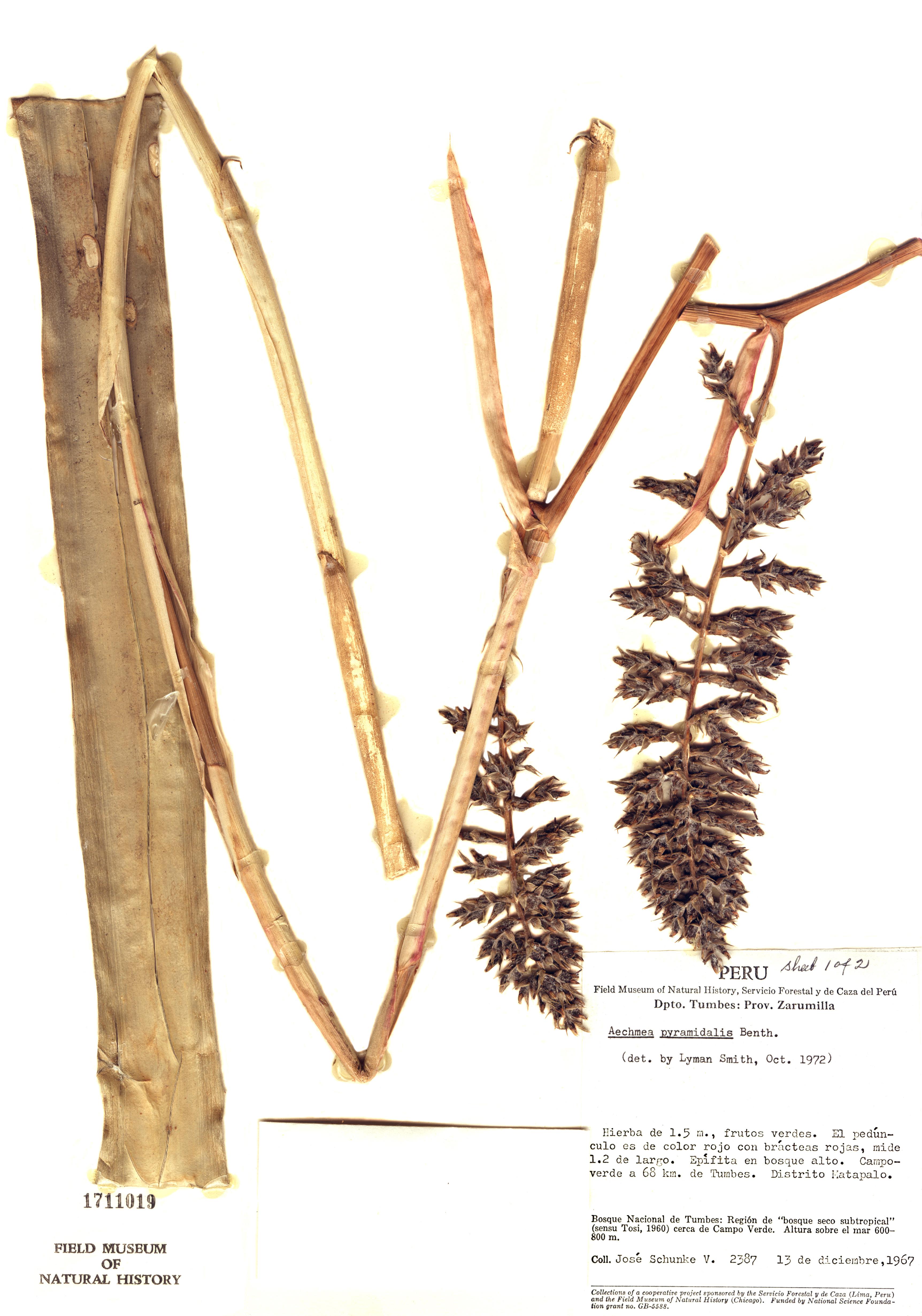Specimen: Aechmea pyramidalis