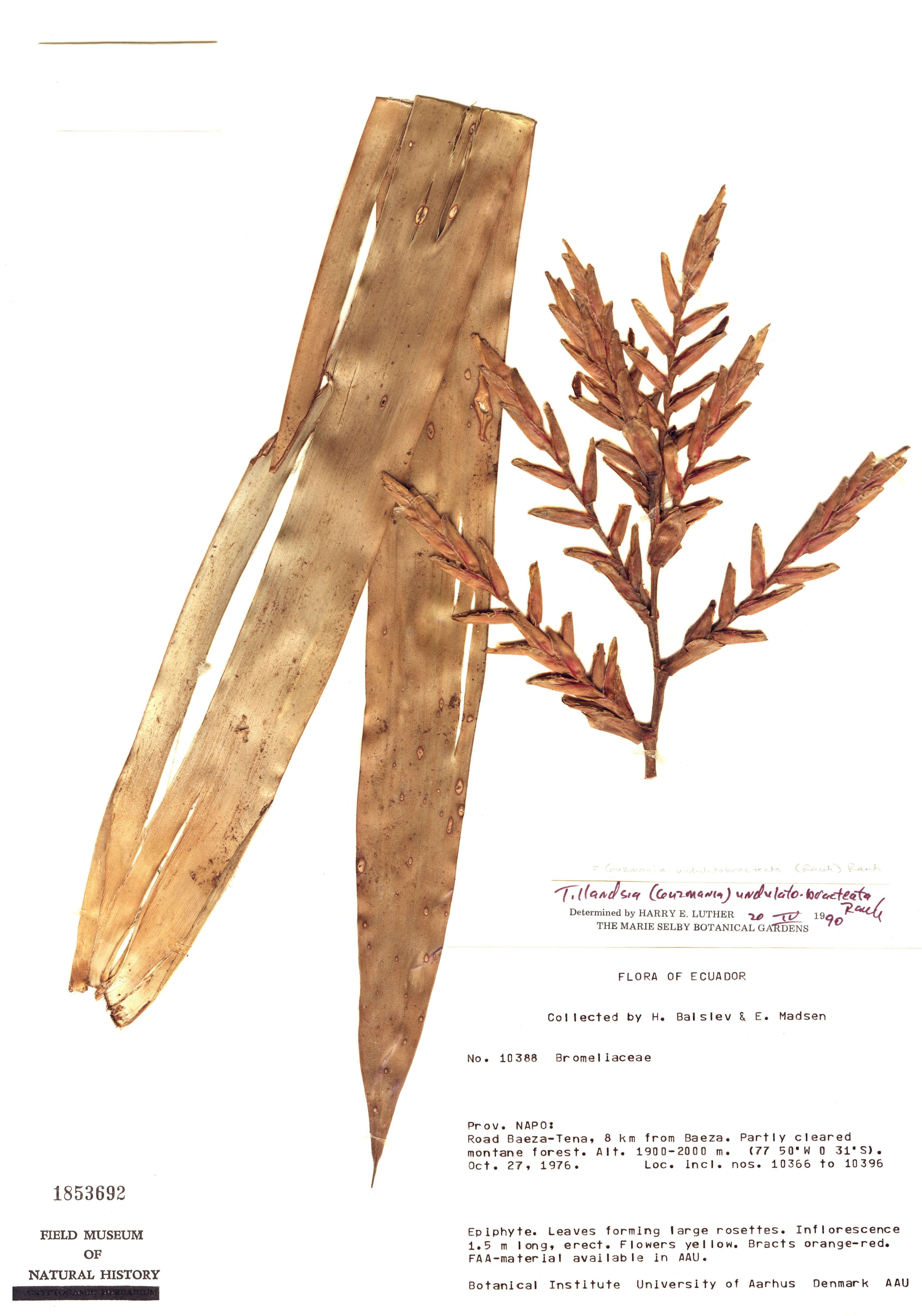 Specimen: Guzmania undulatobracteata