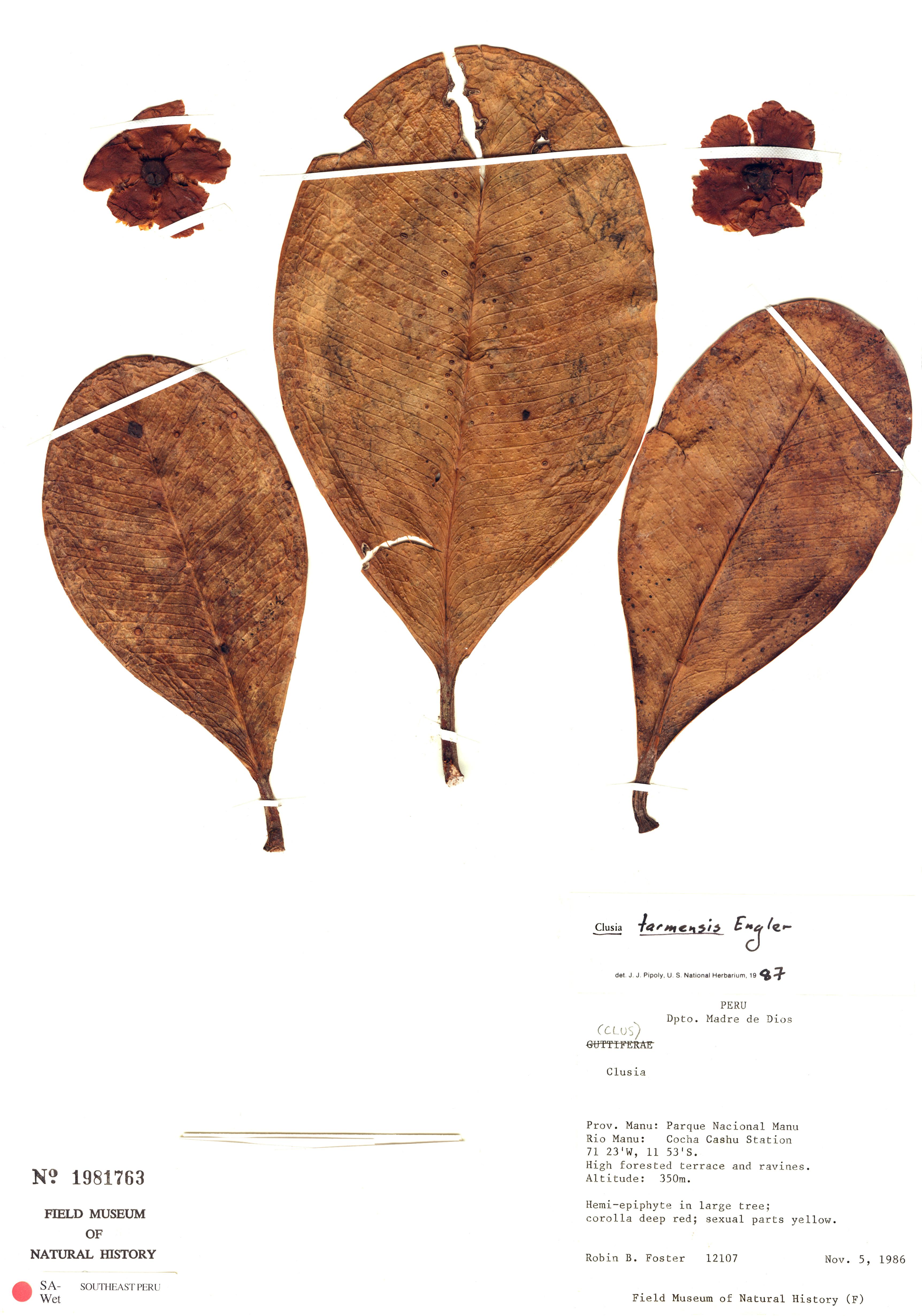 Specimen: Clusia tarmensis