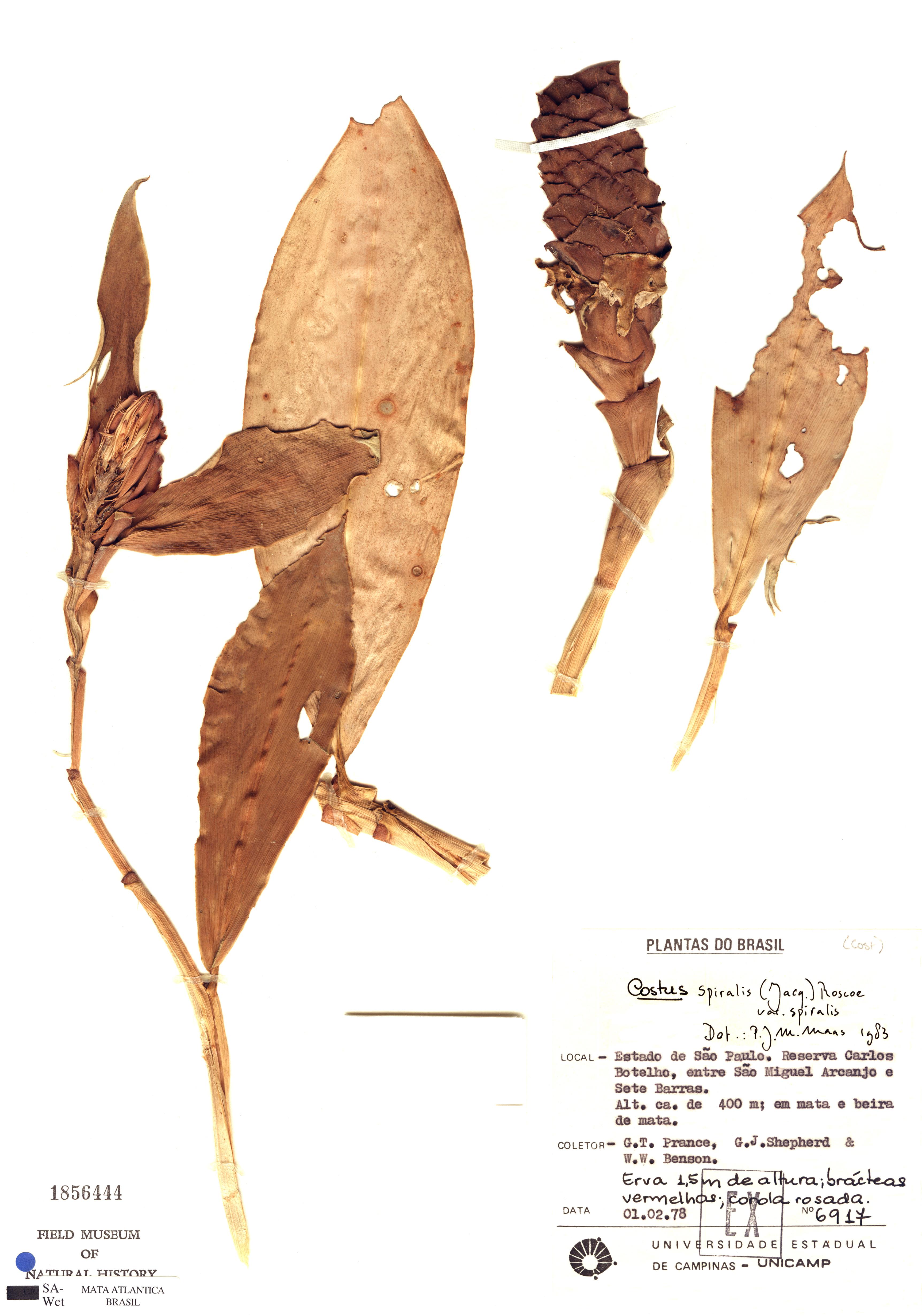 Specimen: Costus spiralis