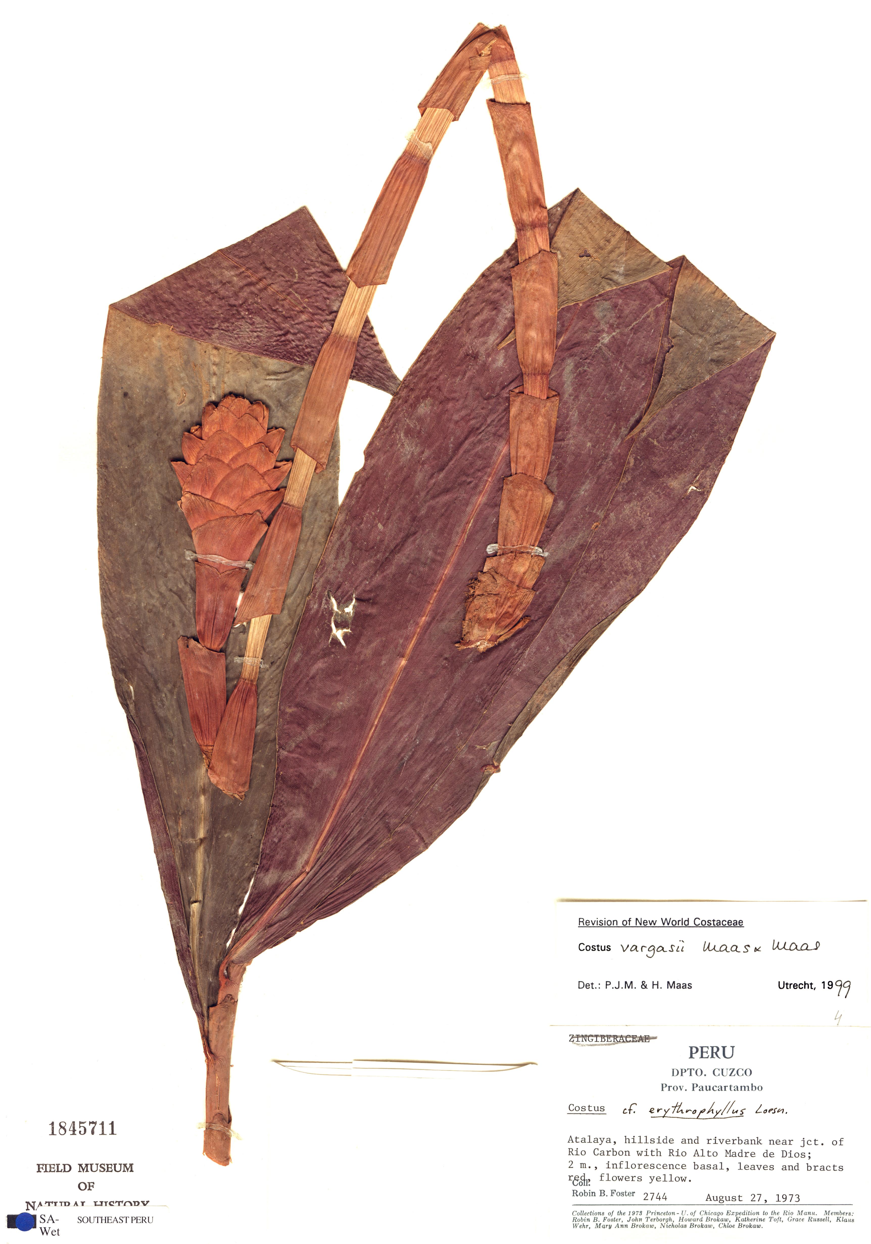 Specimen: Costus vargasii