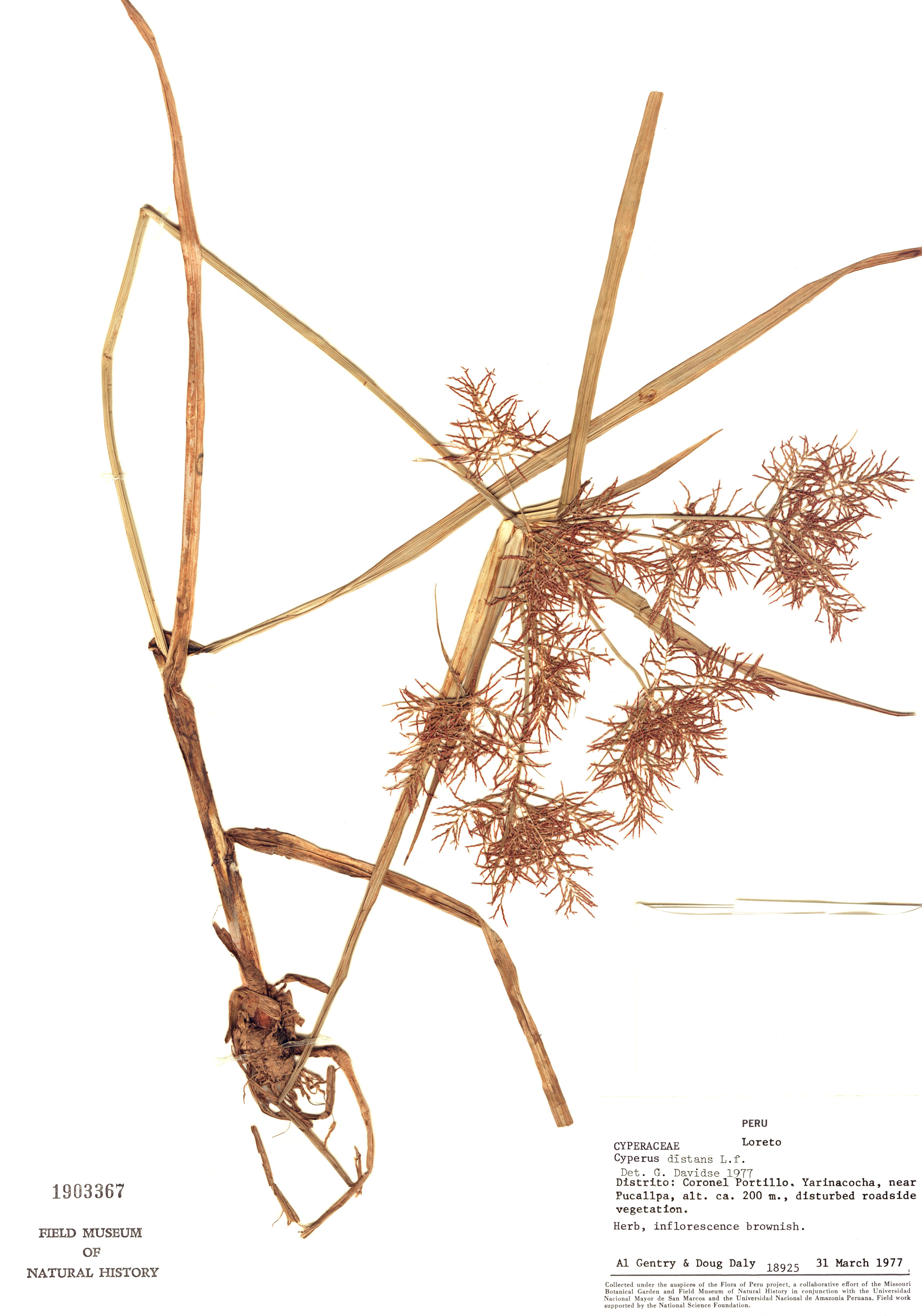 Specimen: Cyperus distans