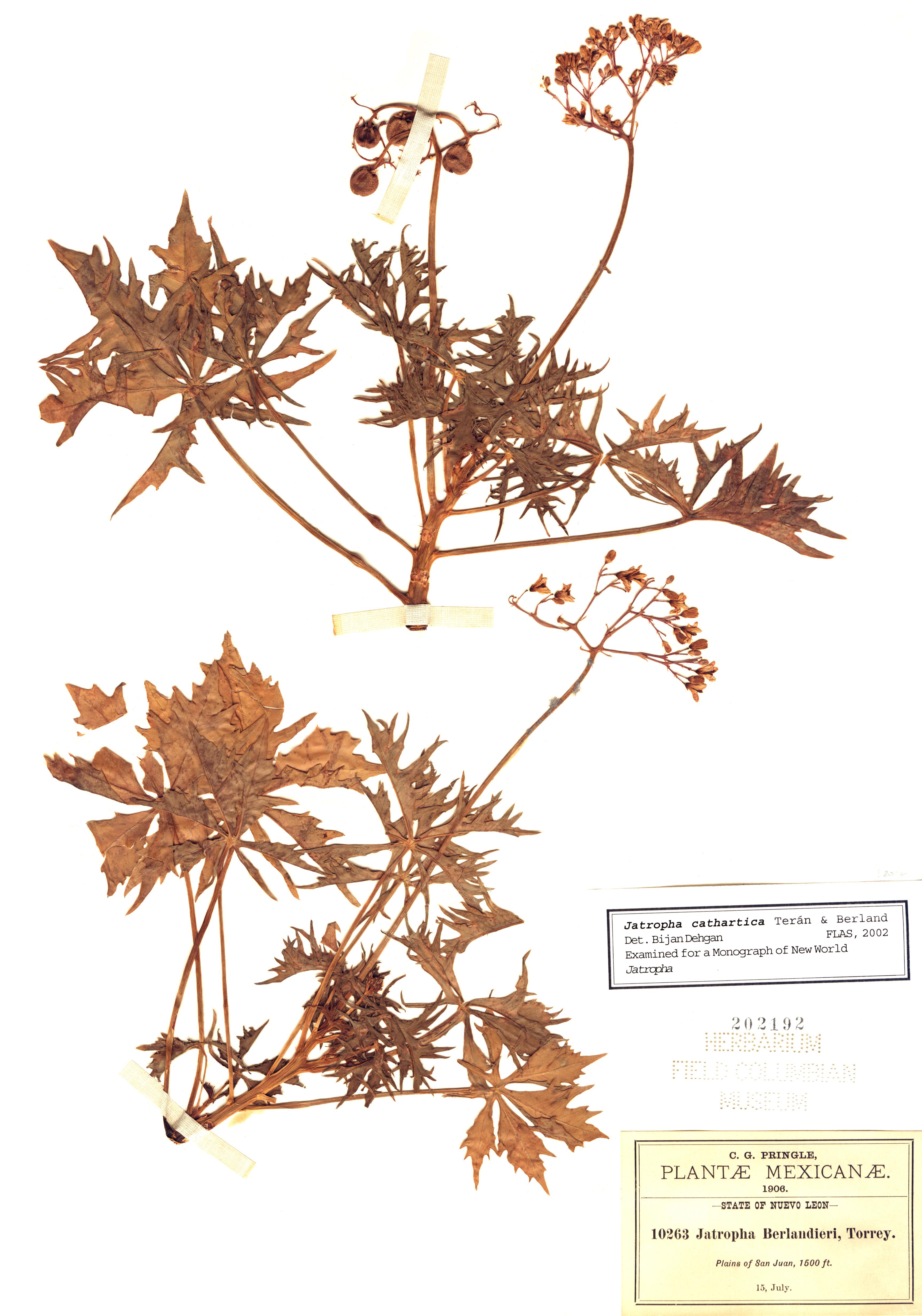 Specimen: Jatropha cathartica