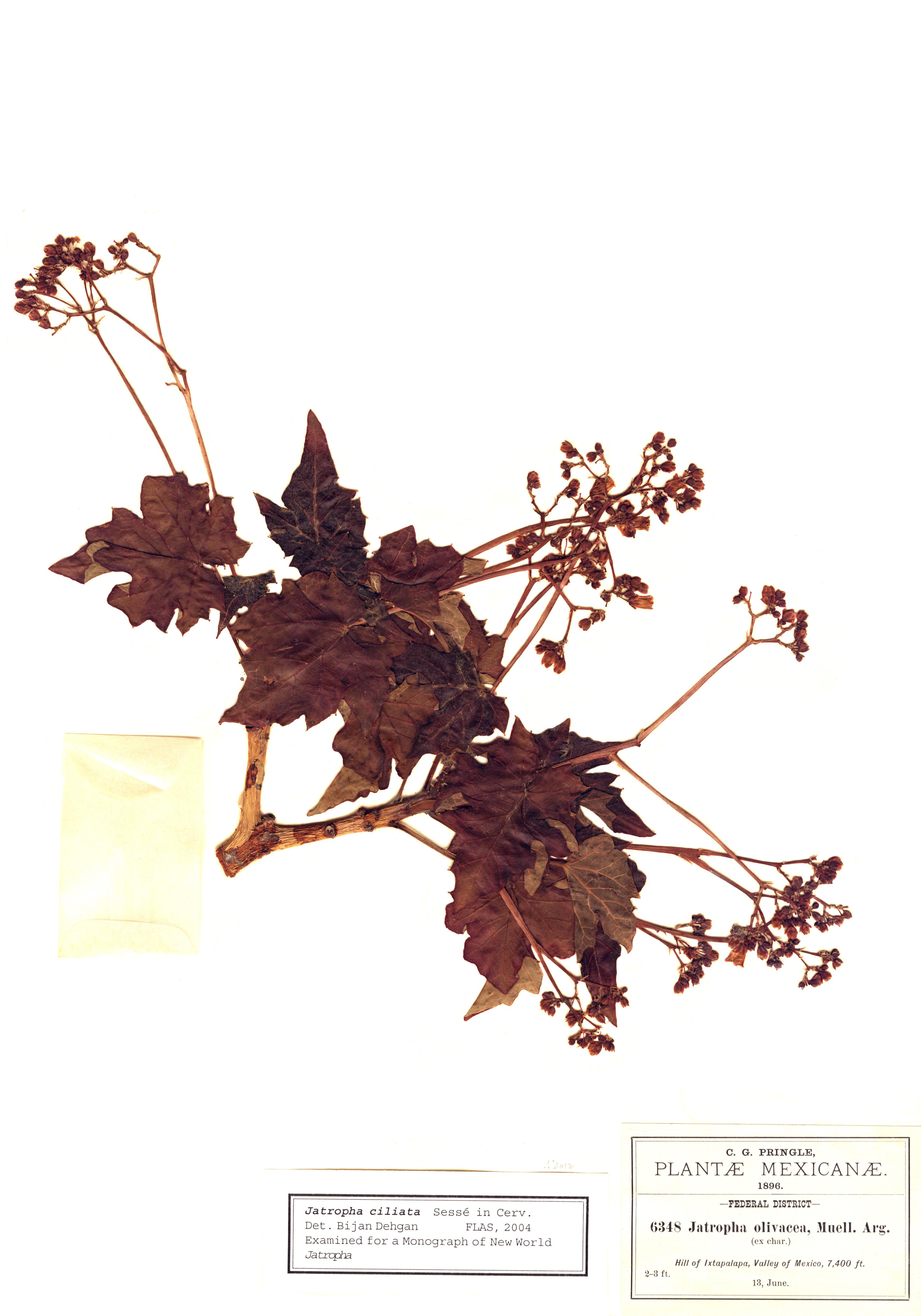 Specimen: Jatropha ciliata