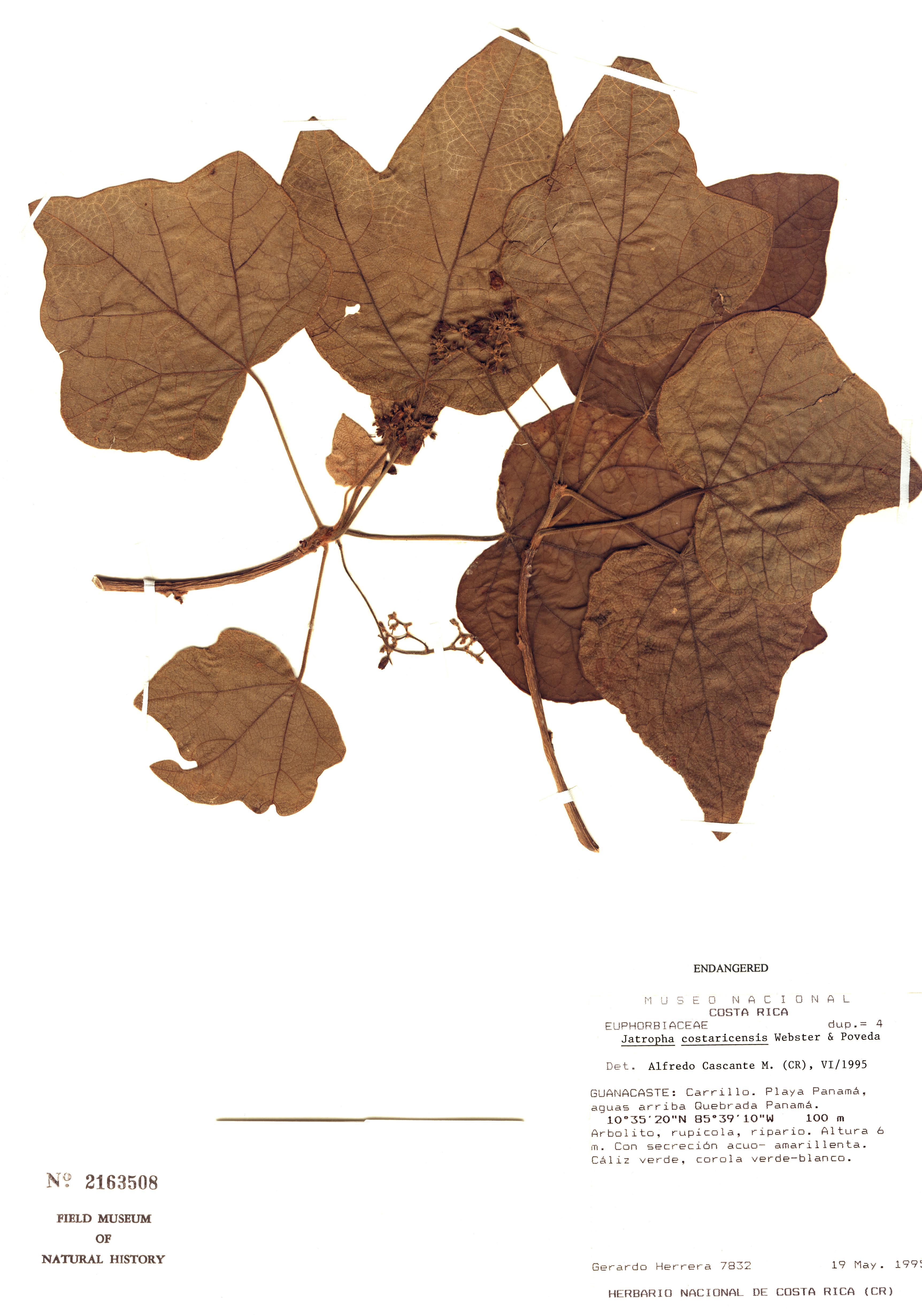 Specimen: Jatropha costaricensis