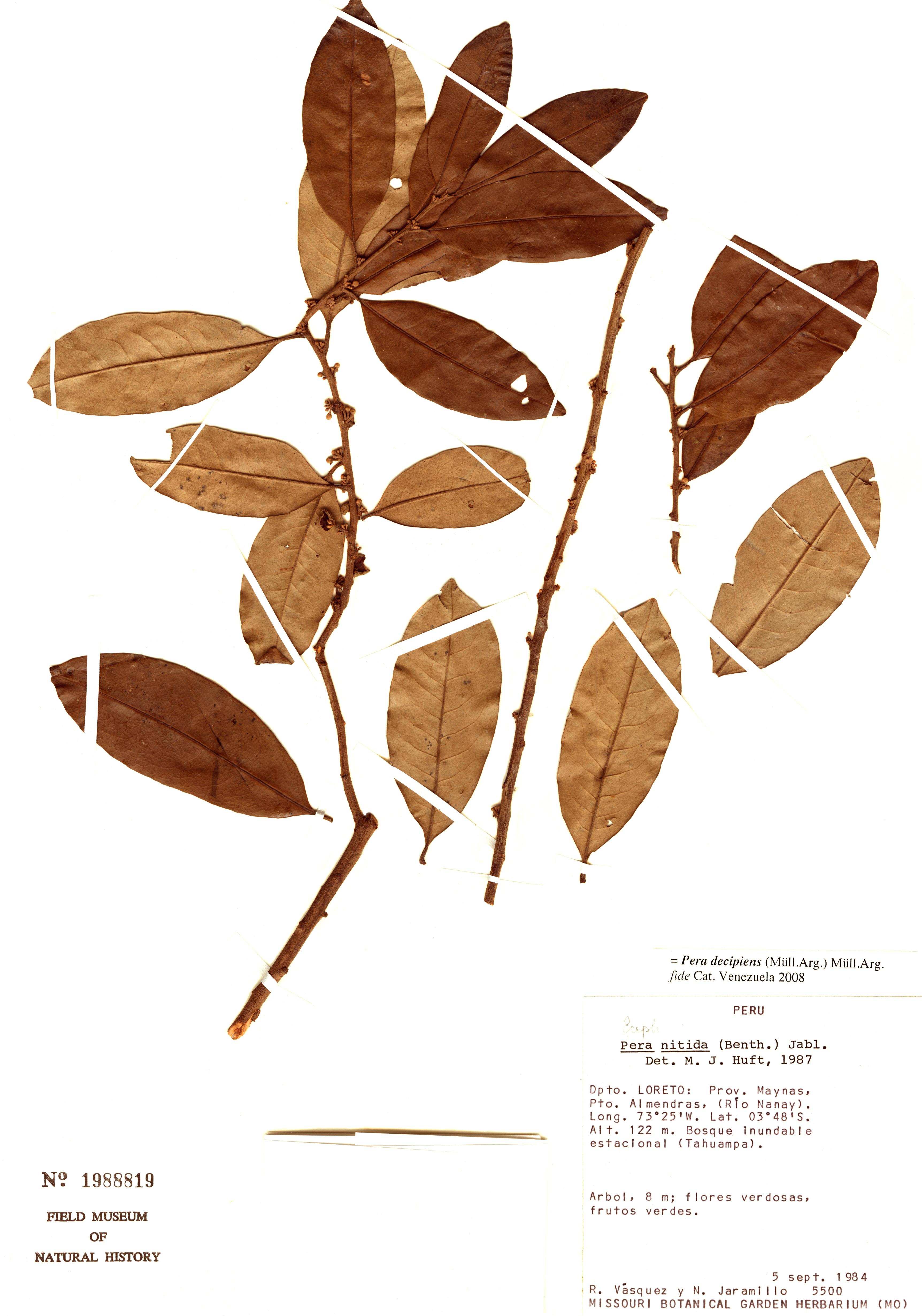 Espécimen: Pera decipiens