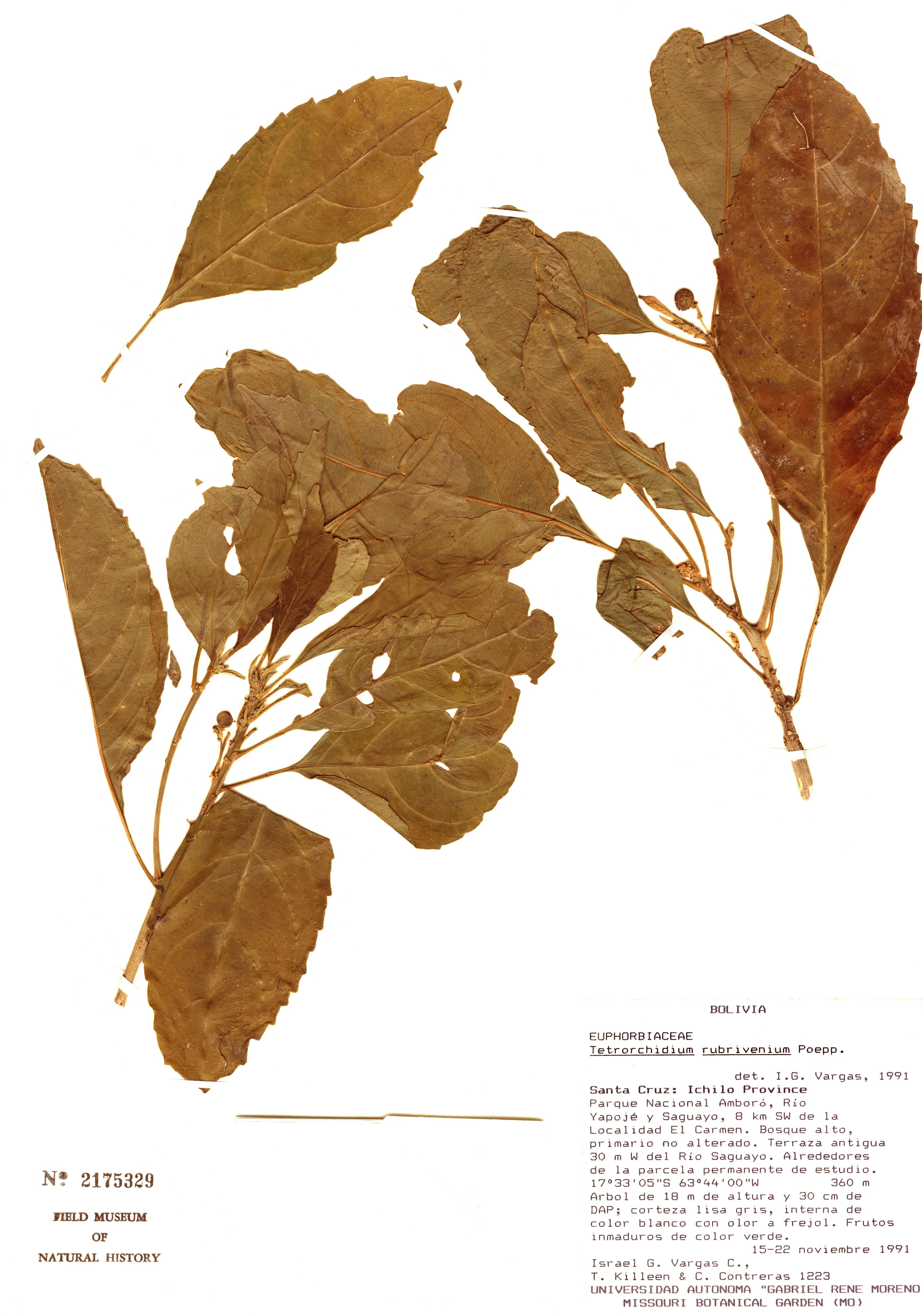 Specimen: Tetrorchidium rubrivenium