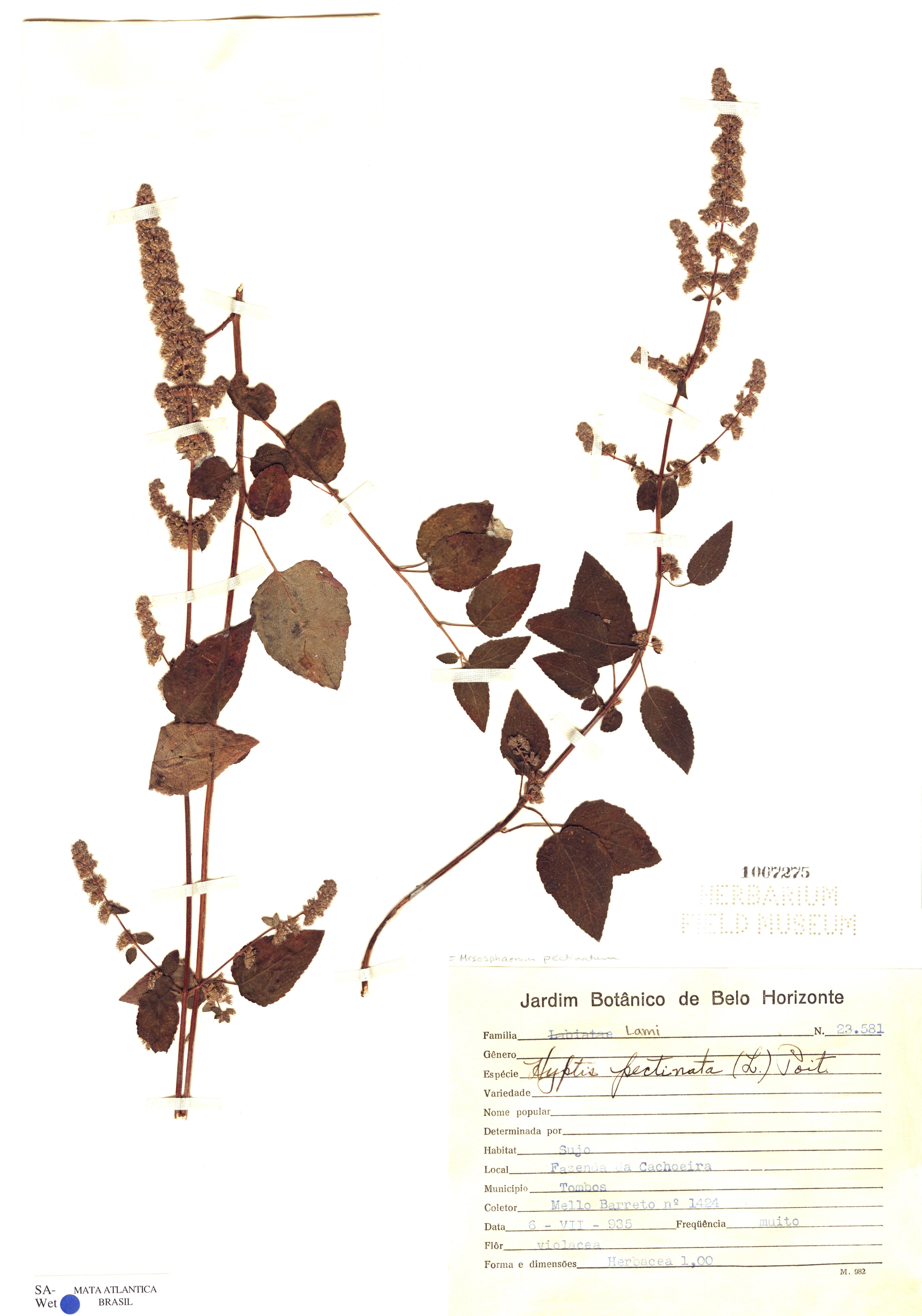 Espécime: Mesosphaerum pectinatum