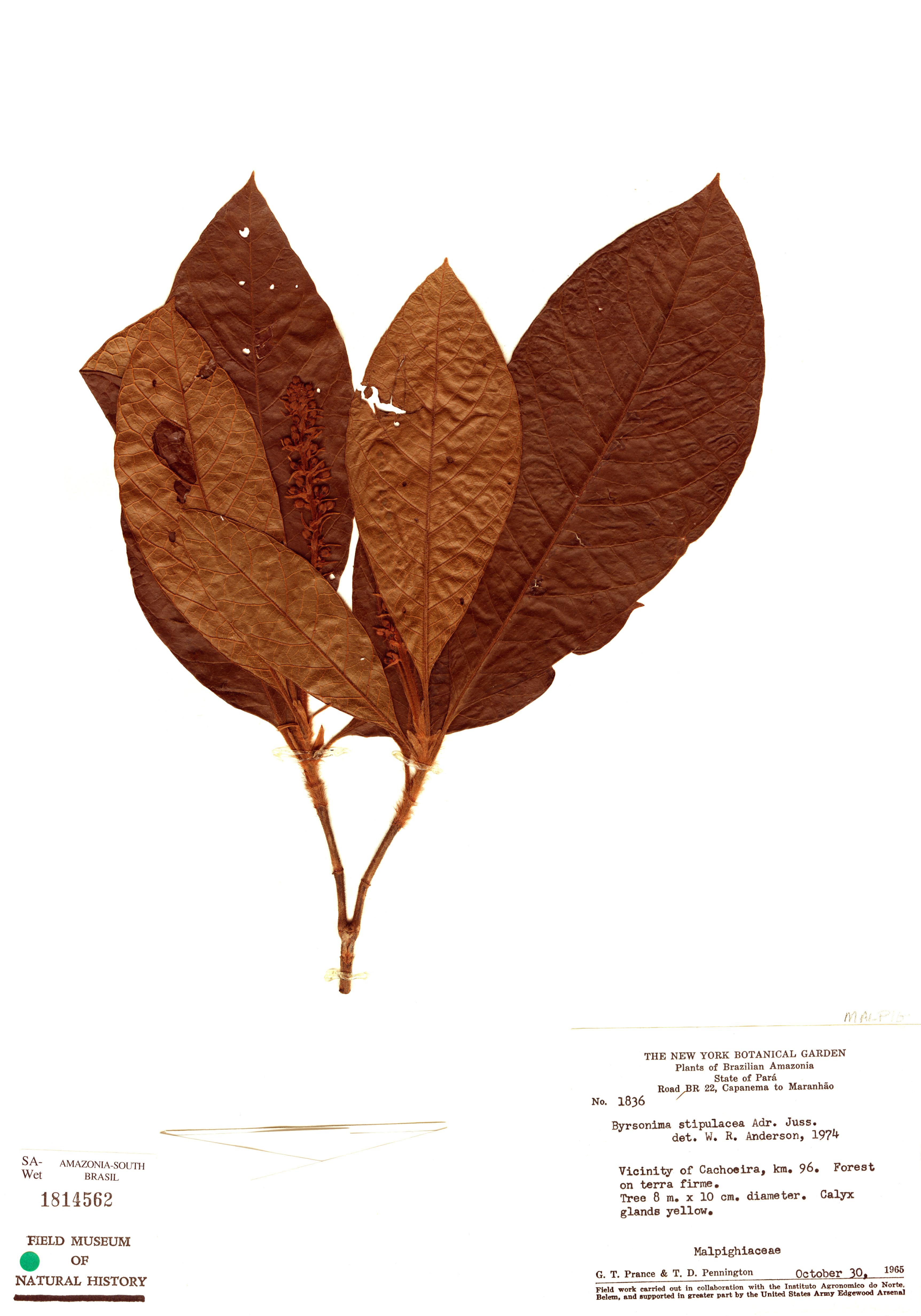 Specimen: Byrsonima stipulacea