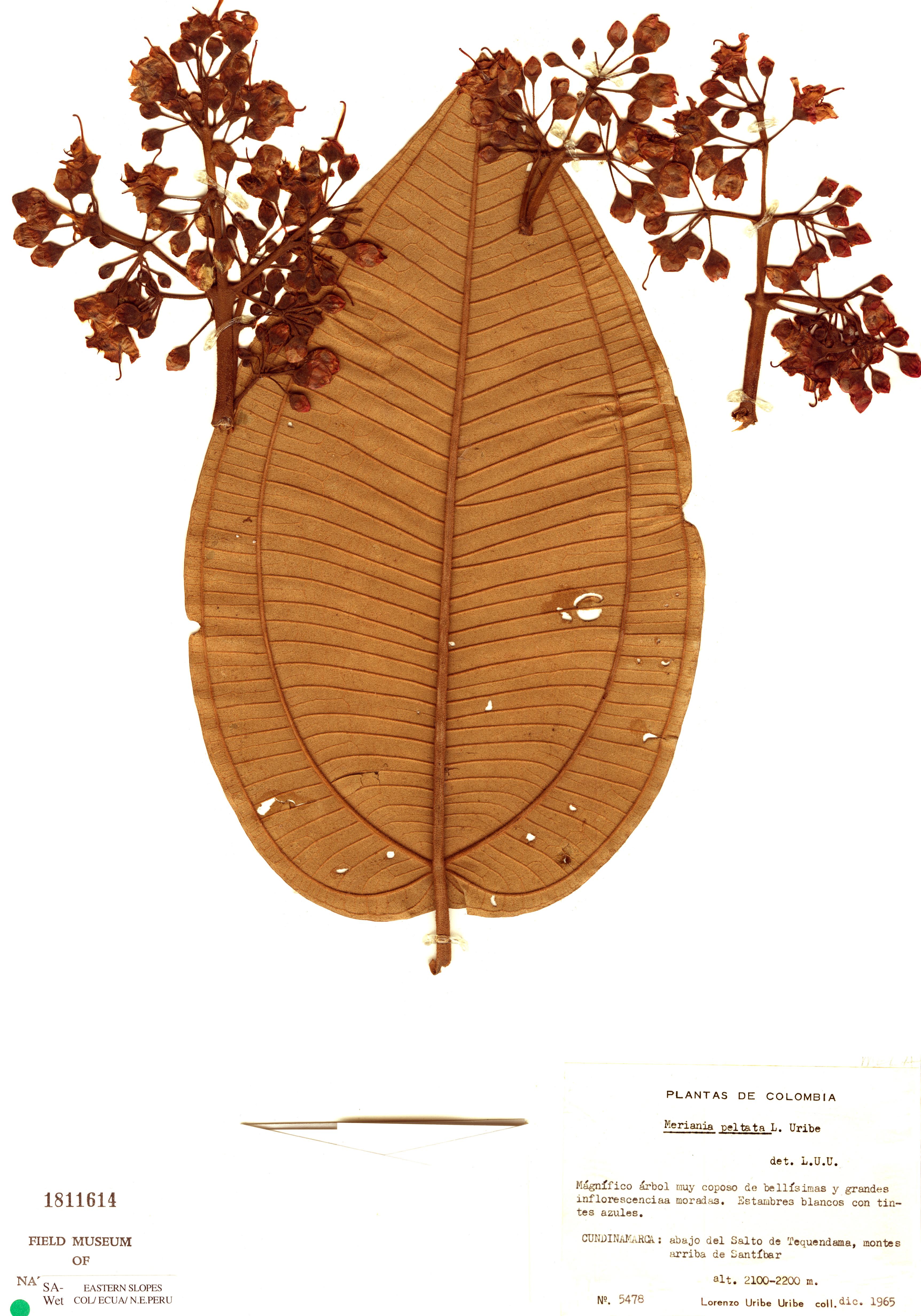 Specimen: Meriania peltata