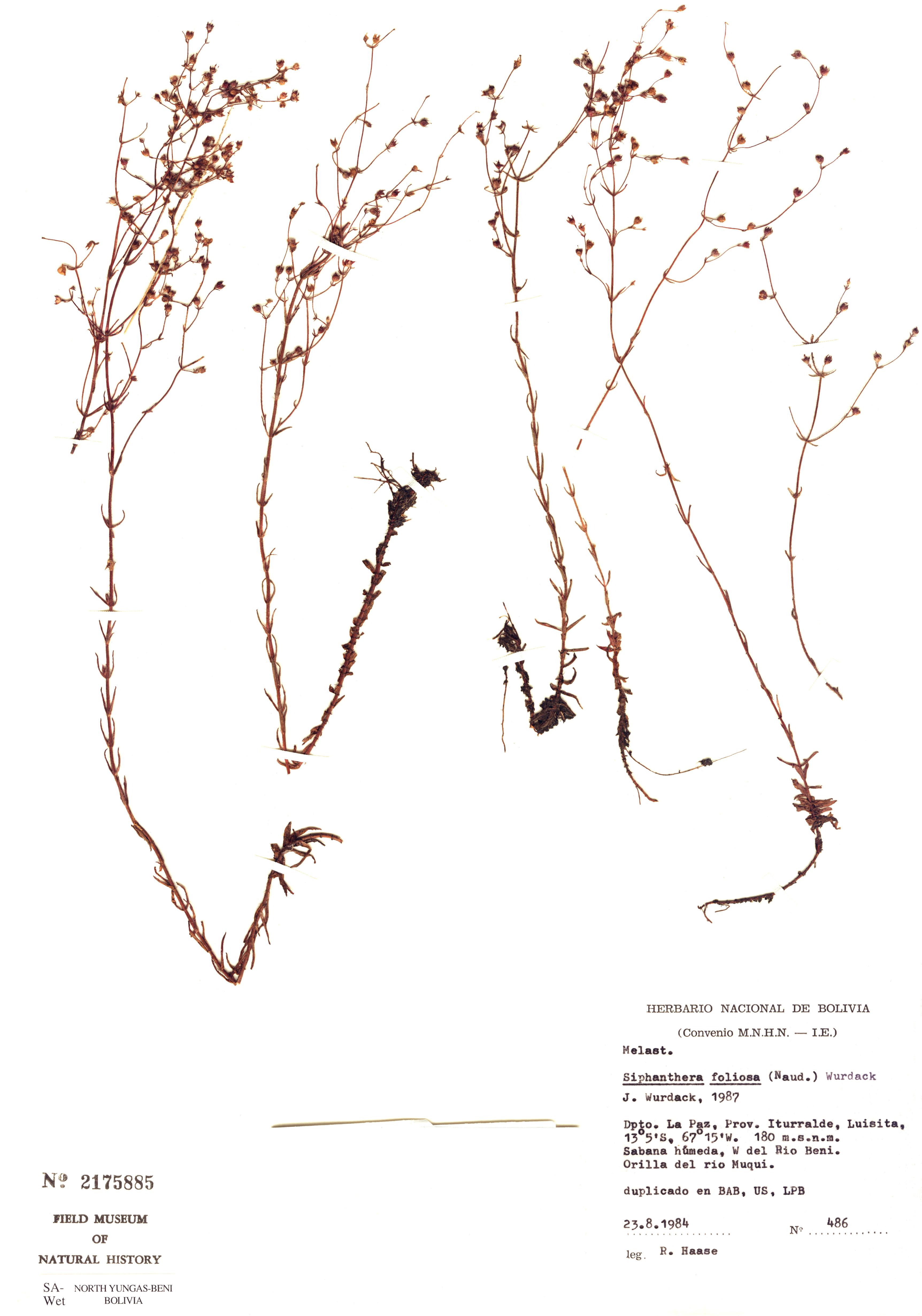 Specimen: Siphanthera foliosa