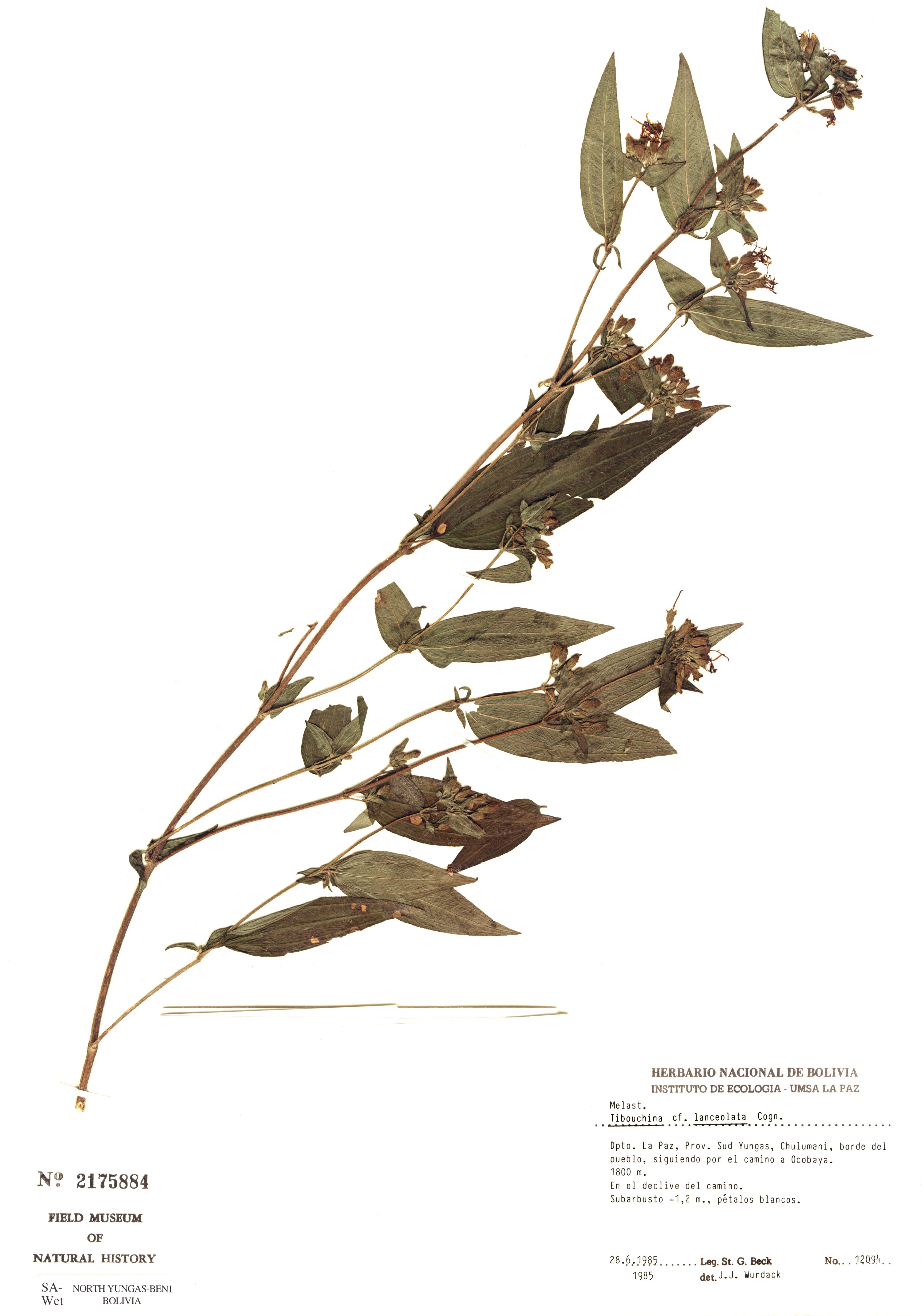Specimen: Tibouchina lanceolata