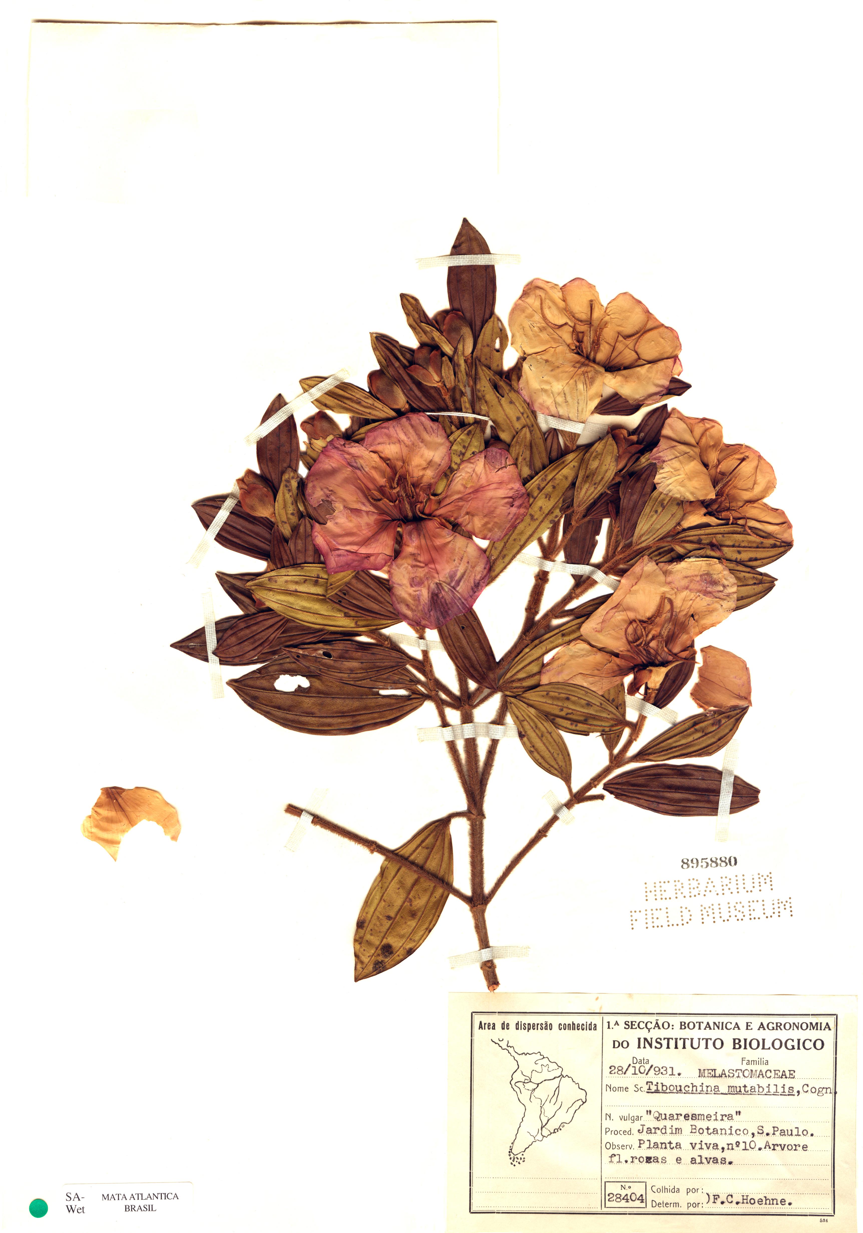 Espécimen: Tibouchina mutabilis