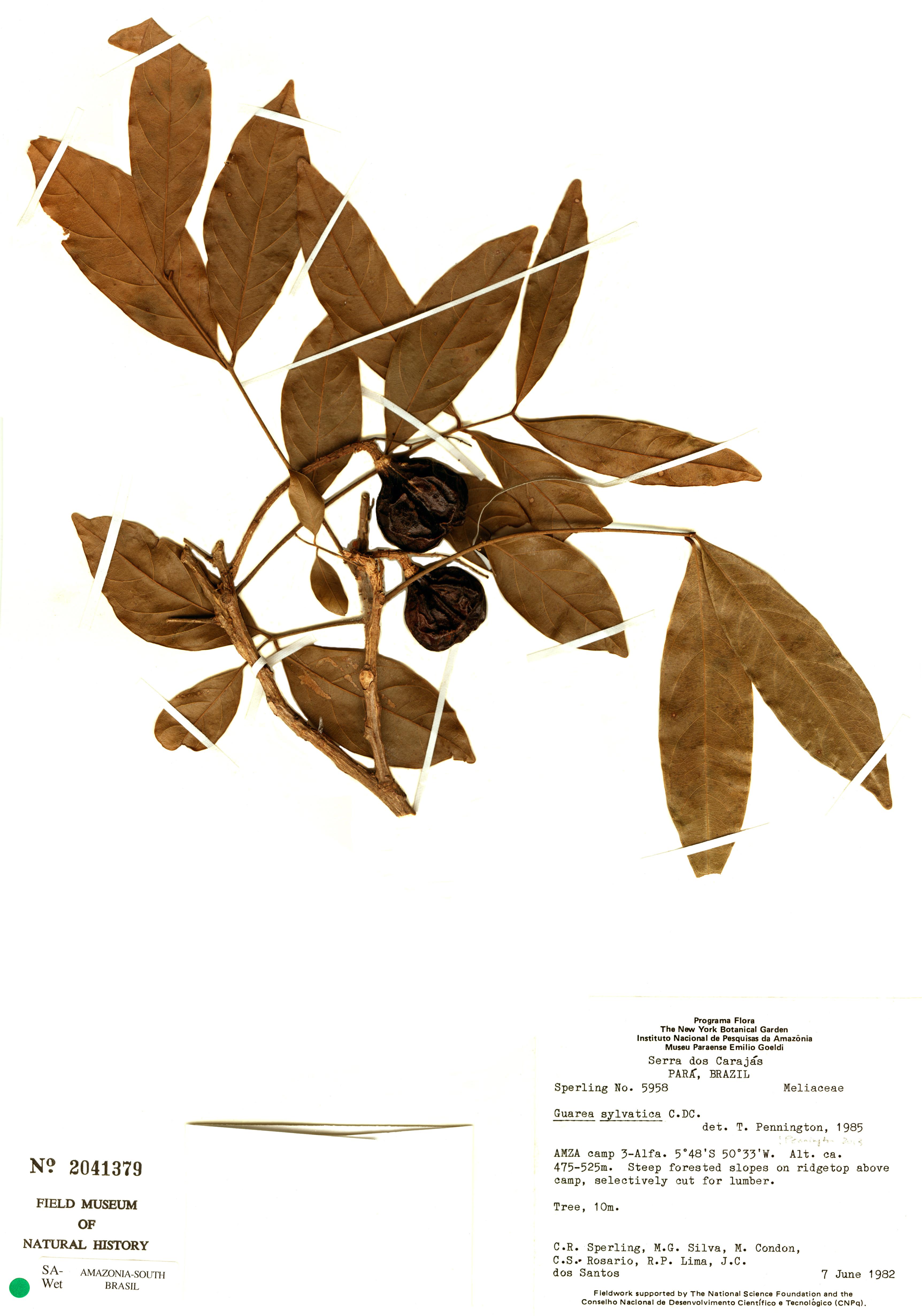 Specimen: Guarea silvatica