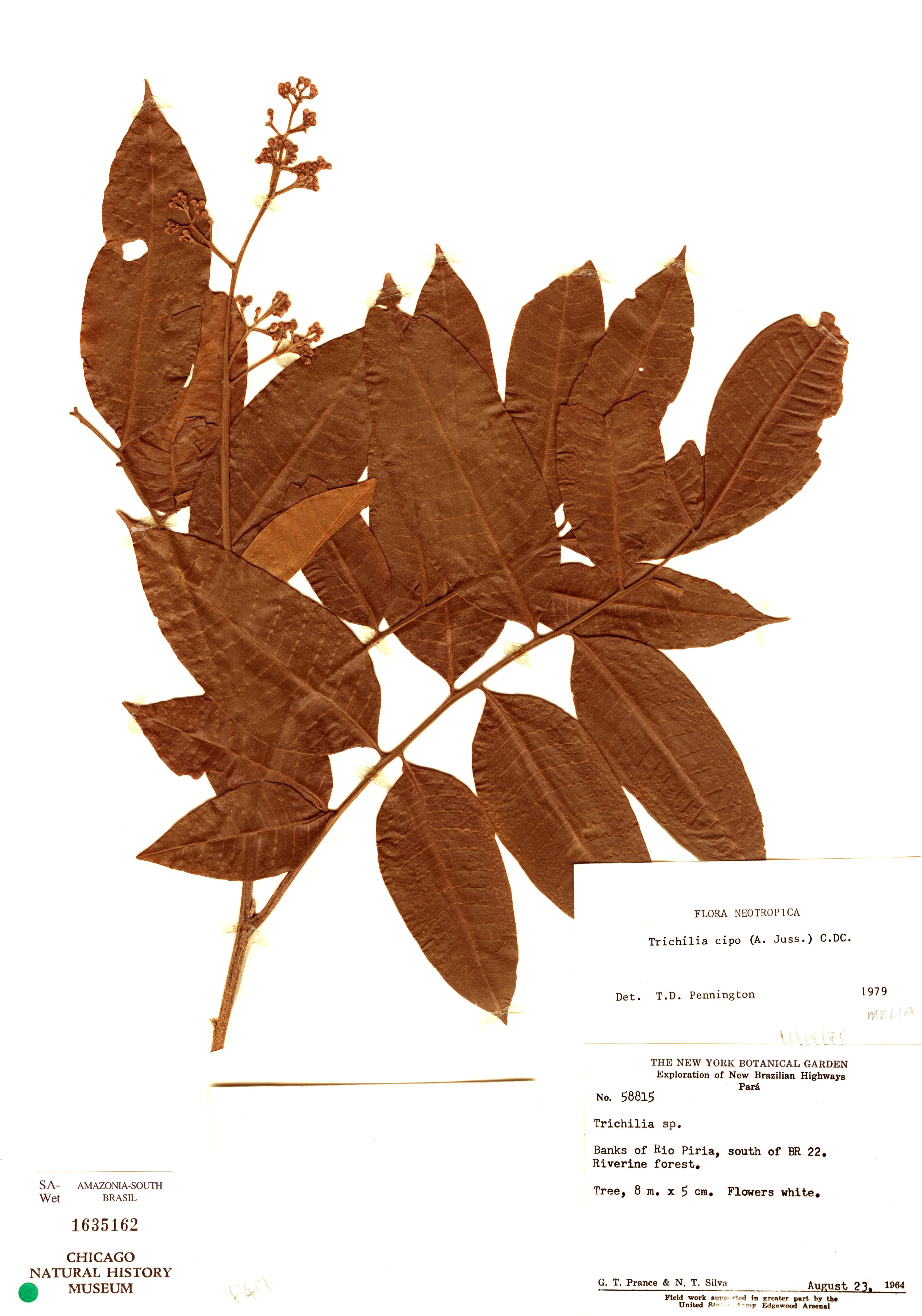 Specimen: Trichilia cipo