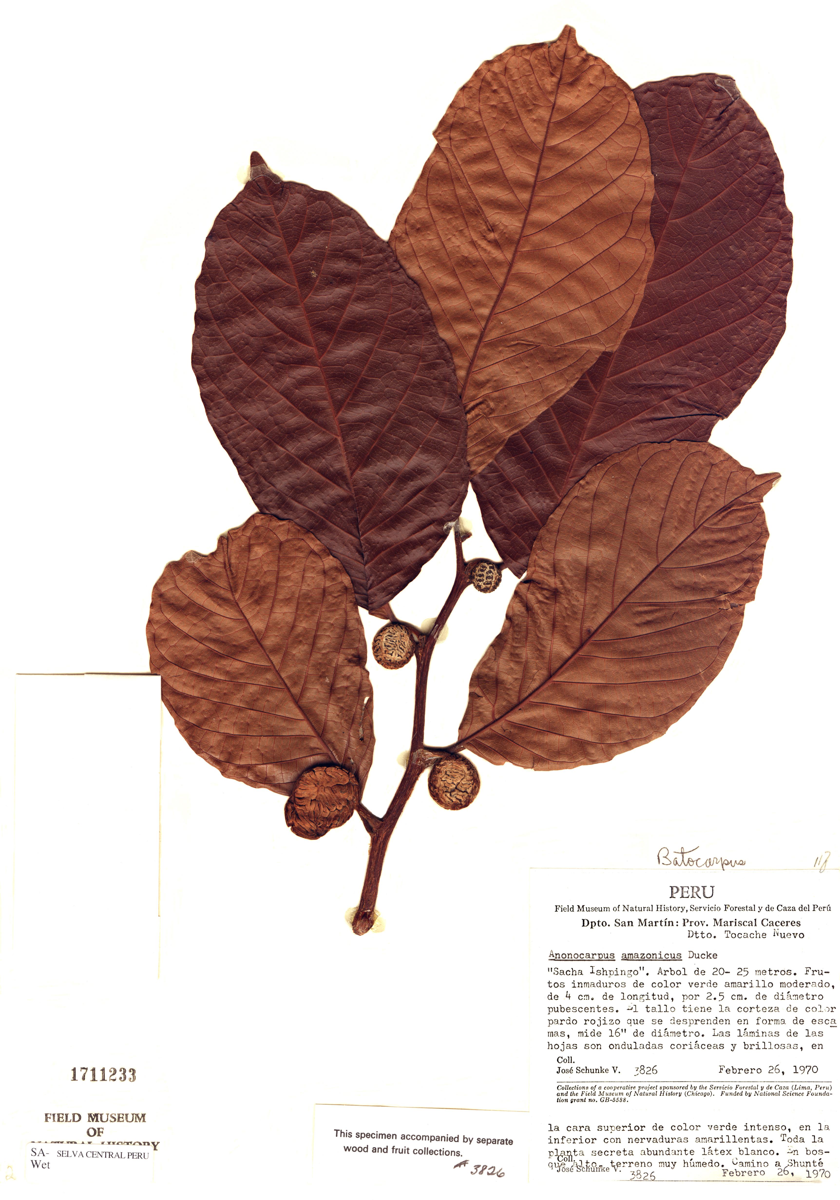 Specimen: Batocarpus amazonicus