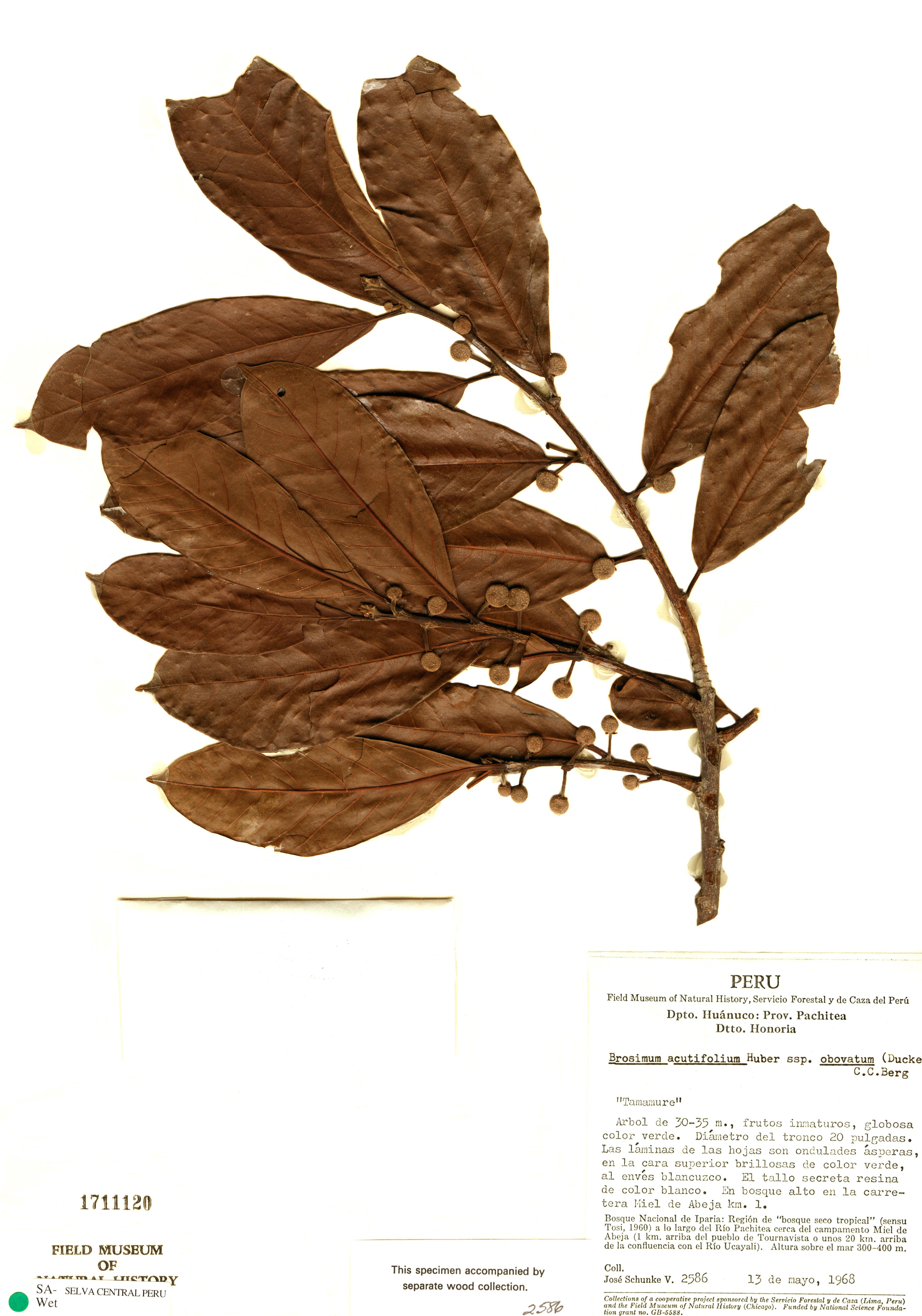 Specimen: Brosimum acutifolium