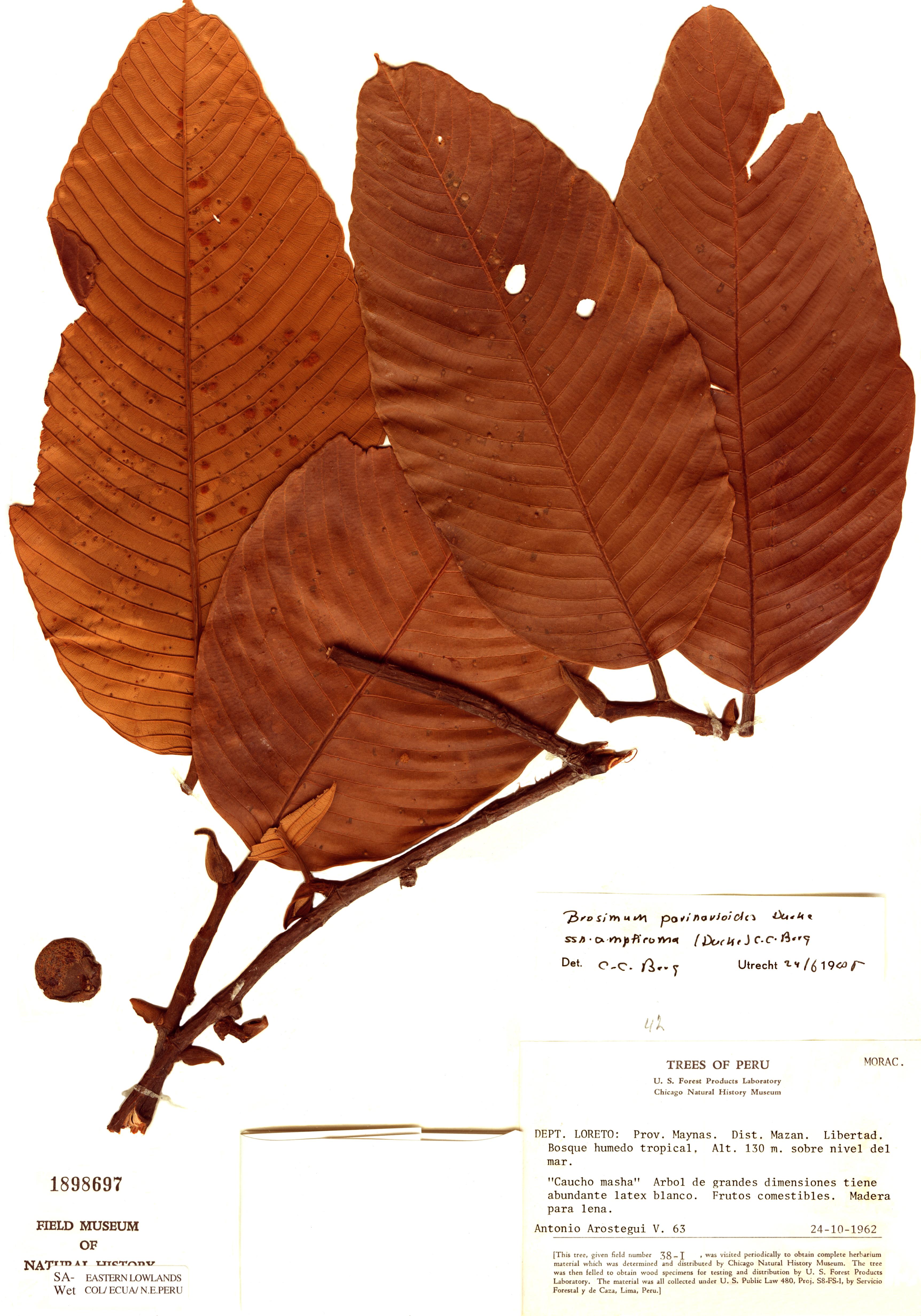 Specimen: Brosimum parinarioides